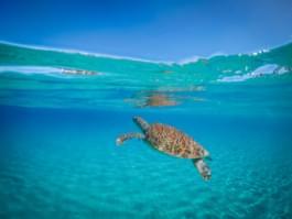 Schwimmen Sie mit Schildkröten