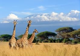 Giraffs in Kenya