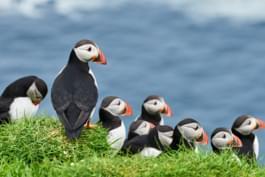 macareux oiseaux îles féroé