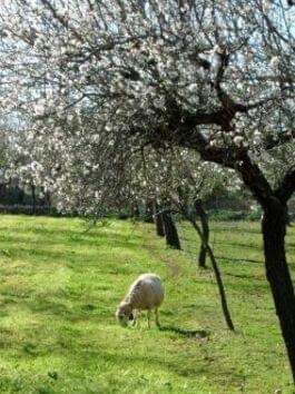 Ein Schaf unter weißen Mandelblüten