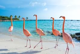 Beobachten Sie Flamingos am Strand von Aruba