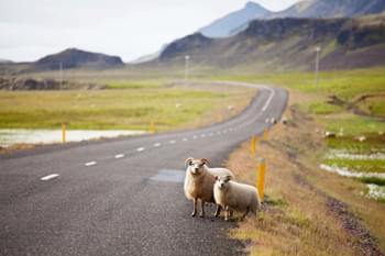 Sheeps on the road in Iceland