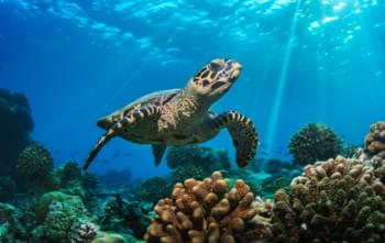Schildkröte in der Karibik