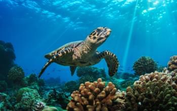 La tartaruga nei Caraibi