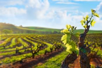 Weinreben in Barossa Valley, South Australia