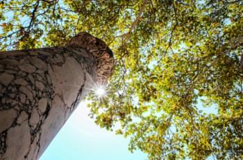 El árbol más viejo de Europa, en Cos