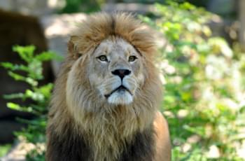 León en el Zoo Hellabrunn en Múnich