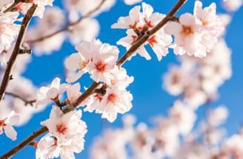 Almond blossom on Mallorca in springtime