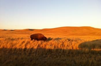 Bison in Kanada