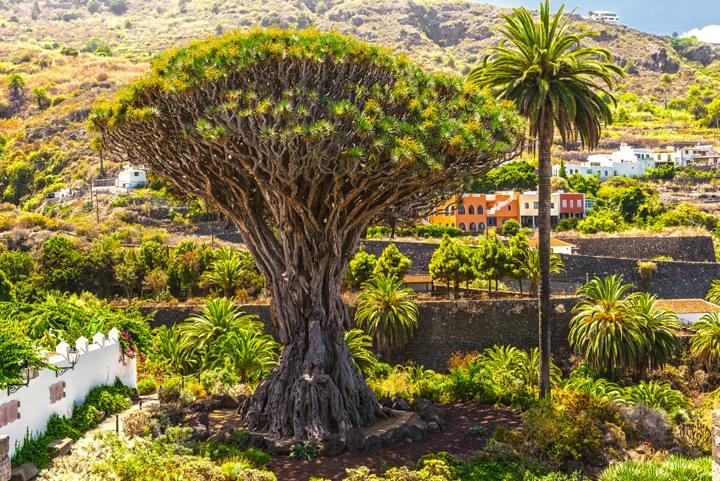 L'arbre dragon á Tenerife