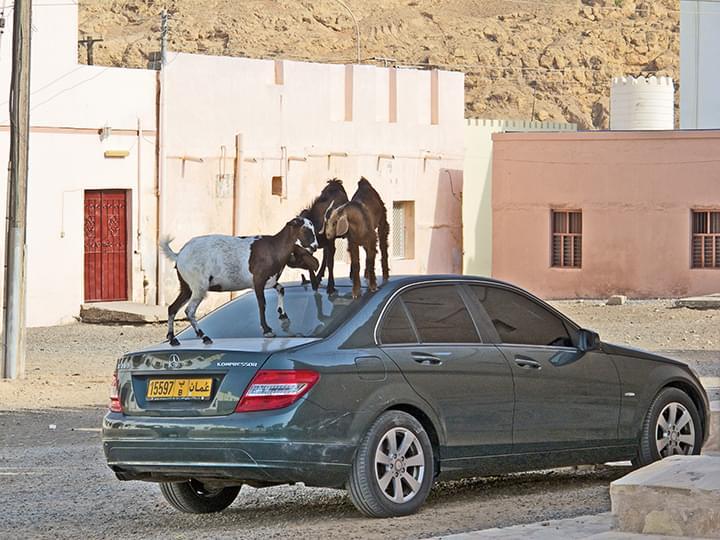 Sur: Ziegenkämpfe auf dem Auto