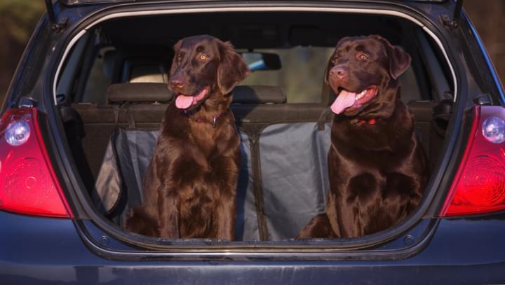 Hunde im Kofferaum eines Mietwagens