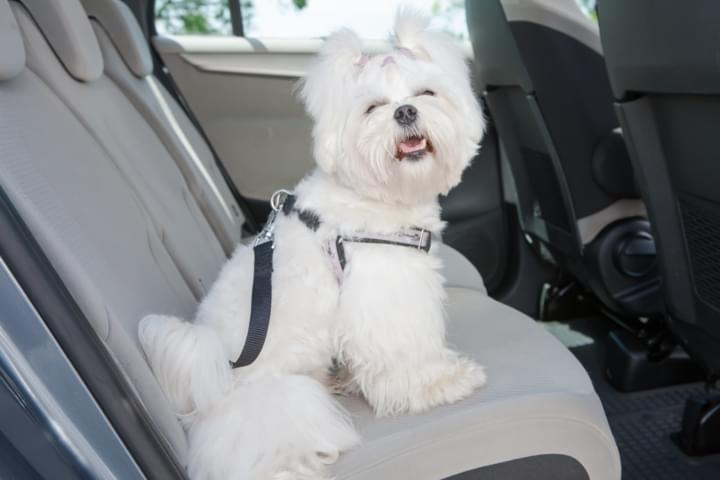 Tiersicherheitssitz für Hund im Mietwagen