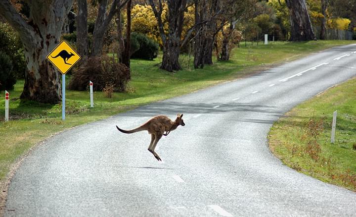 Aufgepasst: Kängurus auf der Straße