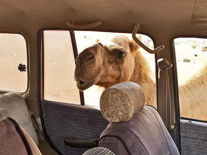 Wahiba Sands: Ein Kamel-Gruss durch das Autofenster