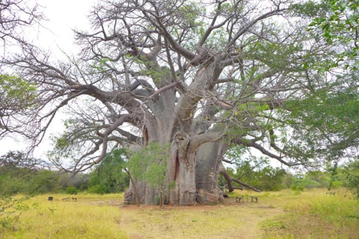 Ein uralter Baum