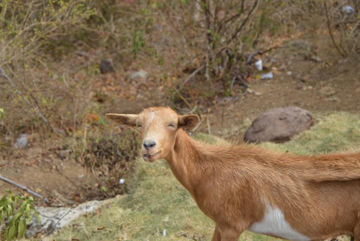 Ziege auf Guadeloupe