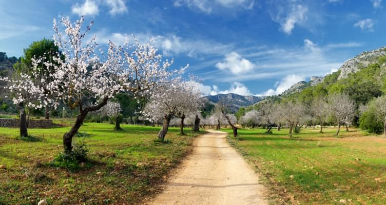 Frühling auf Mallorca: Die Zeit der Mandelblüte hat begonnen
